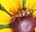 Six-spotted Flower Strangalia  - Strangalia sexnotata