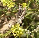 Mojave Sootywing - Hesperopsis libya - female