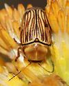 Which species of Cryptocephalus is this? - Cryptocephalus andrewsi