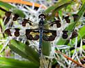 Male Banded Pennant? - Celithemis fasciata - male