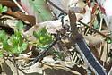 Selys Sundragon - Helocordulia selysii