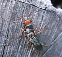 Mating beetles - Phymatodes testaceus