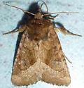 Daylight Moth - Lacinipolia lorea