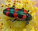 green and red stripe - Trichodes nuttalli