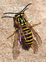 Need confirmation on a wasp id please 2nd view - Vespula squamosa