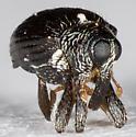Snout Beetle - Psomus armatus