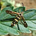 Synanthedon bibionipennis? - Synanthedon bibionipennis