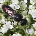 Bee - Hylaeus modestus