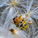Bug on thistle seed - Griburius larvatus