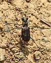 beetle072515 - Cicindelidia rufiventris