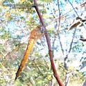 Wandering Glider - Pantala flavescens - female