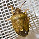 B. sordida or H. limbolarius? - Holcostethus limbolarius