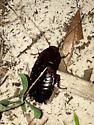 Unknown Cockroach  - Eurycotis floridana