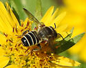 bee - Megachile policaris