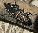 Beetle - Chalcophora virginiensis