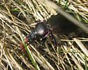 Large Black Beetle in north central Massachusetts - Carabus nemoralis