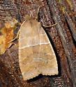 Eupsilia morrisoni