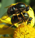 Acrocerid pair! - Eulonchus smaragdinus - male - female