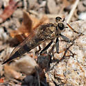 ID for a robber fly? - Efferia albibarbis - female