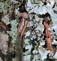 Violet Dancer - Argia fumipennis - female