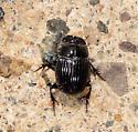 Rhino beetle - Copris minutus
