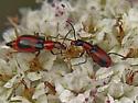 Beetles on Buckwheat - Attalus
