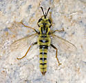 High elevation Southern Sierra mydid record - Pseudonomoneura hirta - male