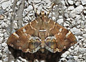 Brown moth with white fringe - Hymenia perspectalis
