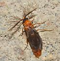 Glowworm Beetle - Phengodes