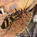 Scorpionfly 01 - Panorpa nuptialis - female