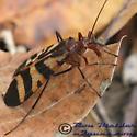 Scorpionfly 01 - Panorpa nuptialis - female