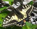 Swallowtail - Papilio zelicaon - female
