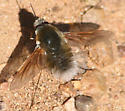 bee fly - Anastoechus