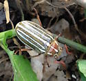 Hissing Beetle - Polyphylla