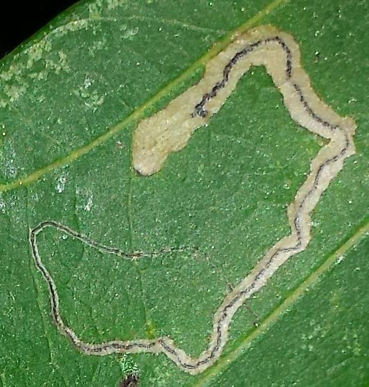 Quercus alba host - Stigmella
