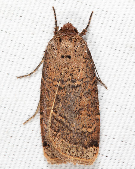 Blueberry Budworm Moth - Abagrotis anchocelioides