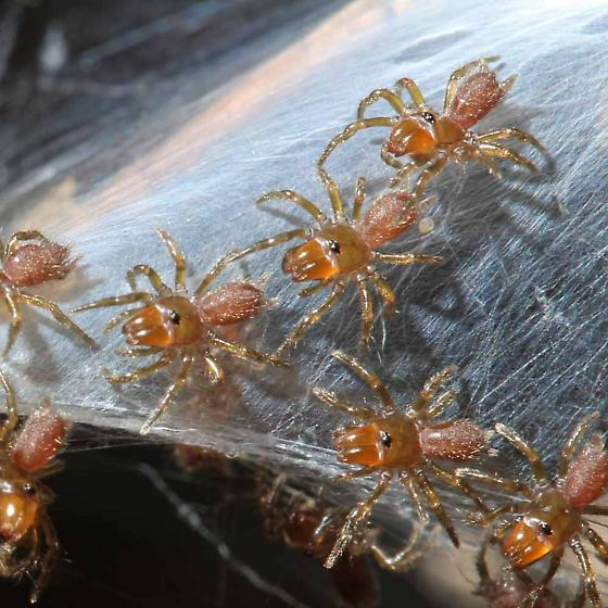 unidentified spider - Sphodros