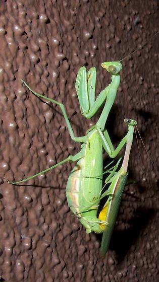 mantis pair - Stagmomantis limbata - male - female