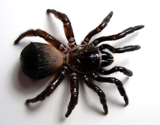 Ravine Trapdoor Spider - Cyclocosmia truncata - female