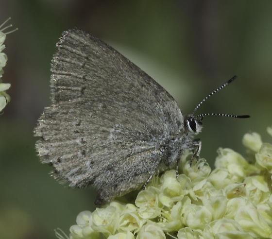 Butterflies on Mt Emily - Satyrium