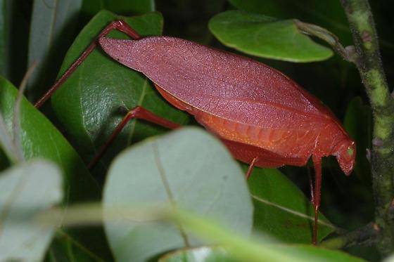red/orange katydid - Amblycorypha oblongifolia - female