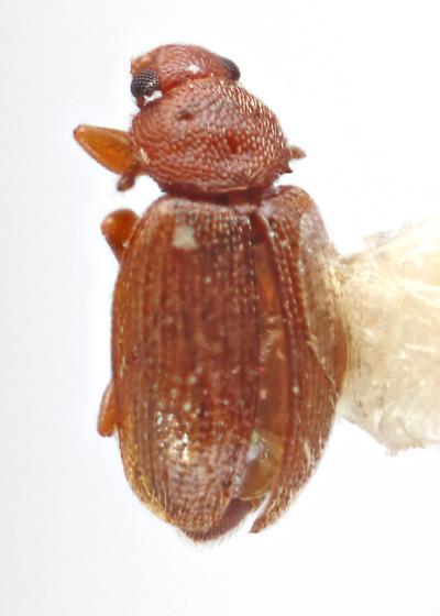 Latridiidae