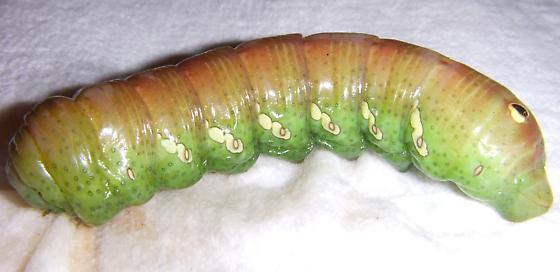 ID this Caterpillar - Eumorpha achemon