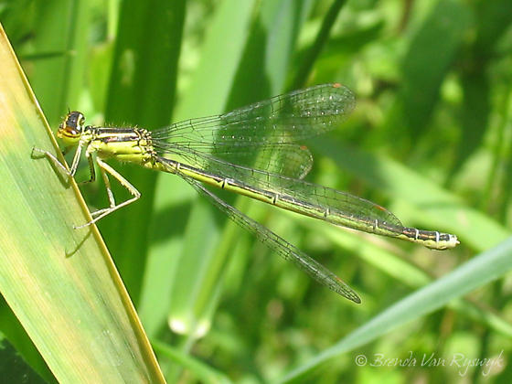 Rainbow Bluet - Enallagma antennatum - female