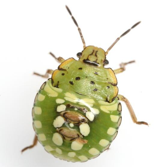 Nezara viridula (Linnaeus) - Nezara viridula