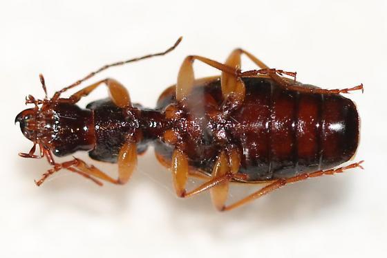 Unkown Carabid - Cymindis americana