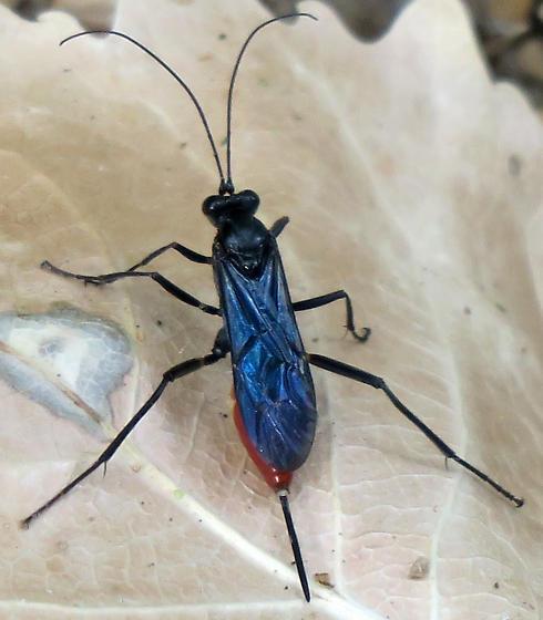 Cryptus albitarsis? - Cryptus albitarsis - female