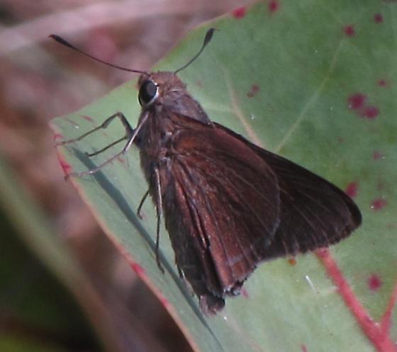 Very large brown skipper  - Asbolis capucinus