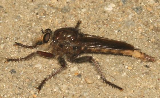 Robber Fly - Proctacanthus philadelphicus