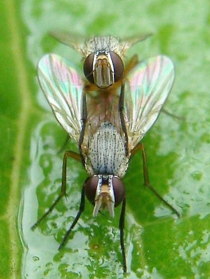East Texas Ag News: How to spot bermuda grass stem maggot